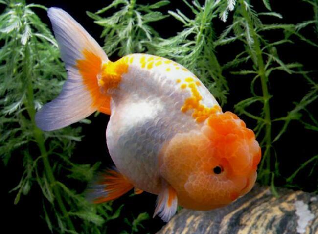 我家有六条小金鱼。它们长得非常可爱,而且这些小金鱼都是我和爸爸妈妈一起从苏州乐园和大公园里好不容易钓上来的。 它们的嘴巴圆圆的,又非常大,就是因为它们嘴非常大,所以它们吃鱼时食的时候都是一口一个,狼吞虎咽地吃。每当我起床后它们都会用头敲击鱼缸,好像在说:小主人,我饿啦!